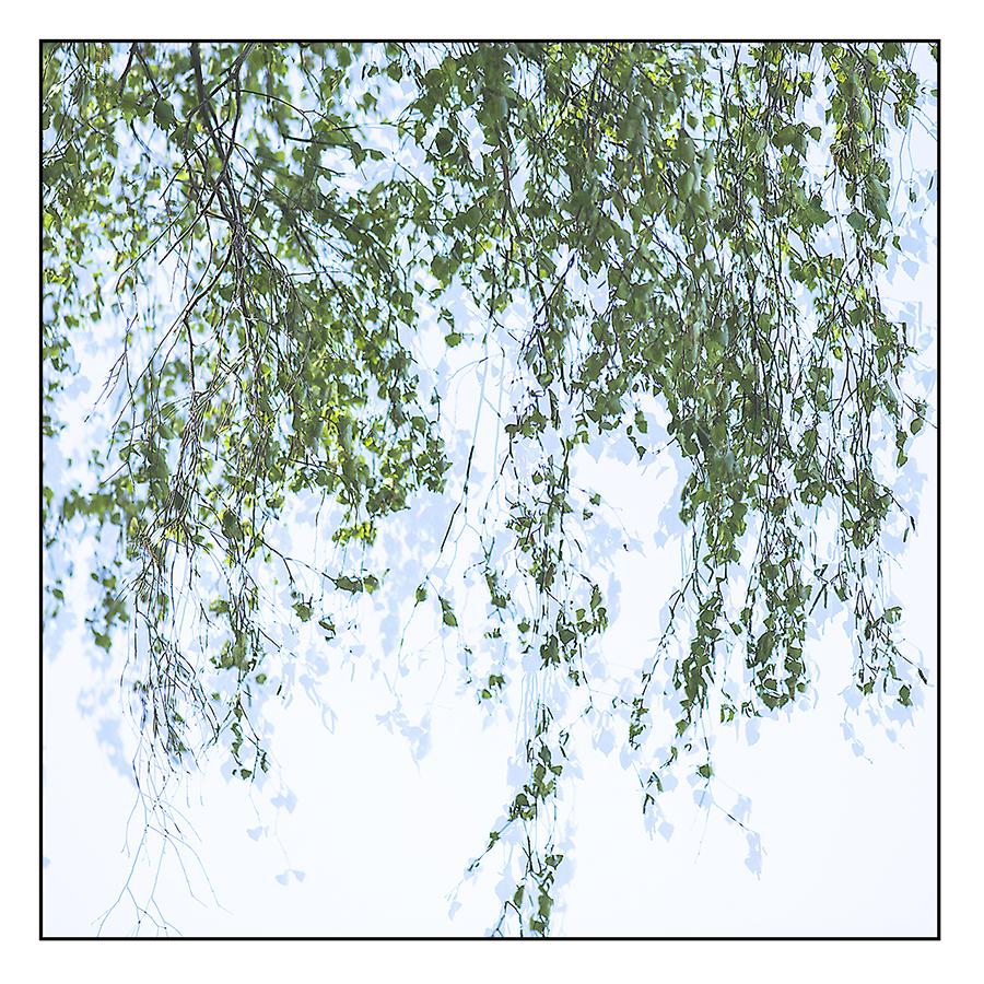 Baum_Birke.jpg