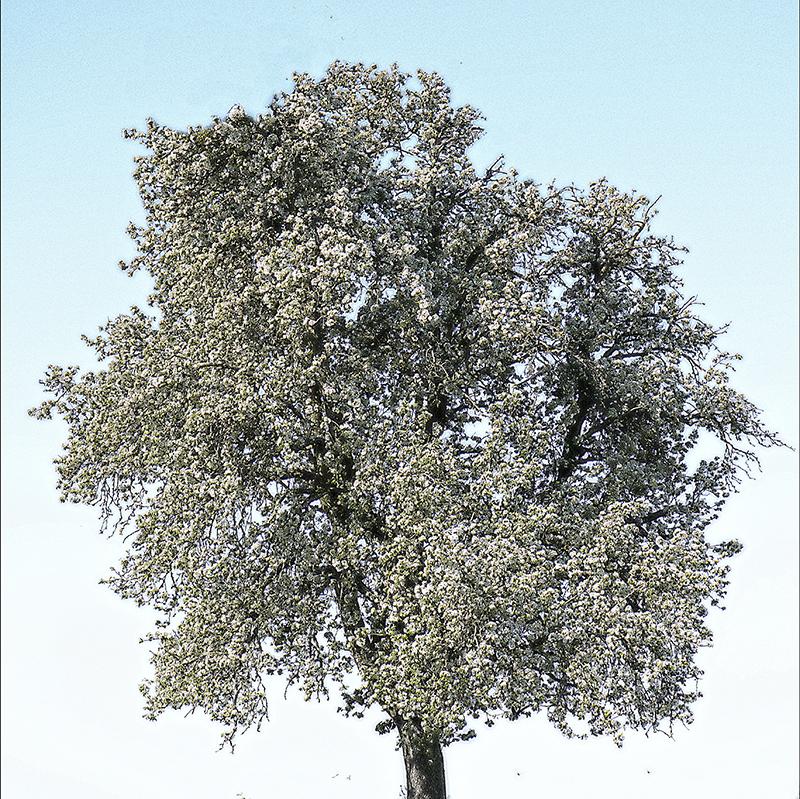 Baum_Birnbaum.jpg