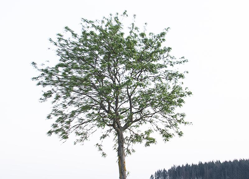 Baum_Eberesche.jpg